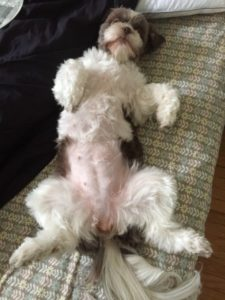 Shi-tzu flat on her back with her paws in the air